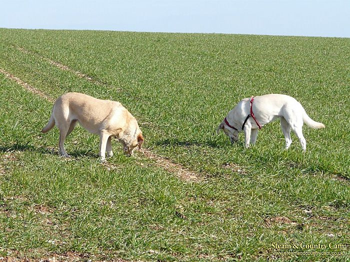 Dogs grazing!