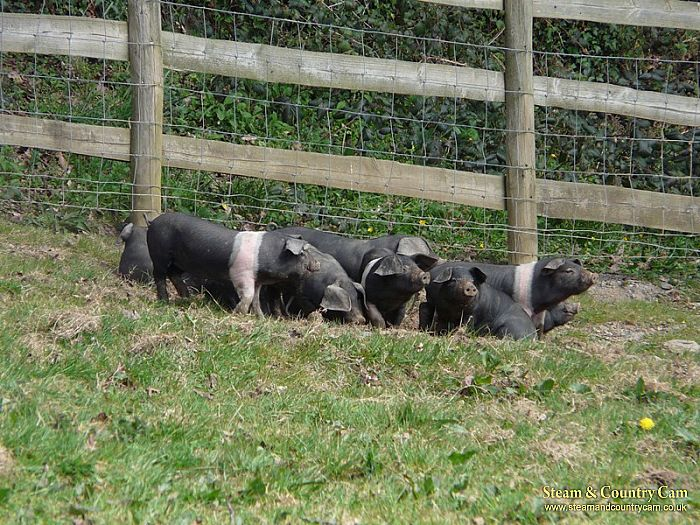 Piglets on the farm