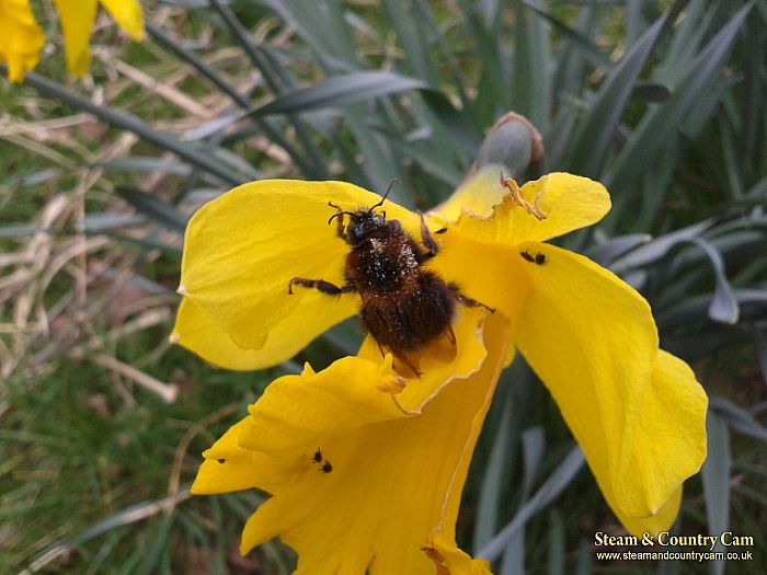 A bee on a daffodils