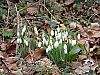 Jump to Snowdrops
